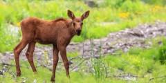 Moose calf anchorage moose calf anchorage kathleen barth Kathleen Barth