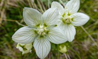 Parnassia palustris Northern Grass of Parnassus