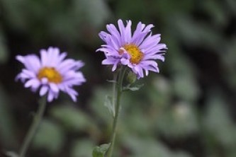 Subalpine daisy coastal fleabane Erigeron peregrinus thumbnail Andrey Zharkikh Flickr 6338715470 5c589d3d8e w
