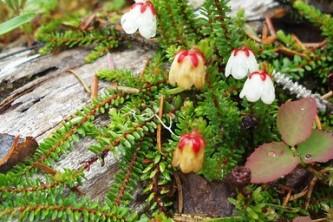 Alaska Heather Harrimanella stelleriana Forest Service Alaska Region USDA Flickr 17184909220 a7afb3c63c w