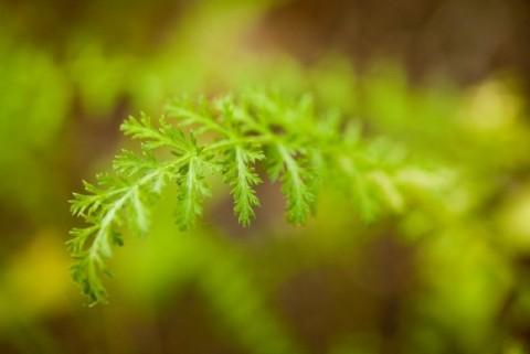 Achillea borealis Northern Yarrow Botanical Gardens 0067