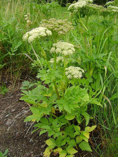 Wild Celery André Philippe D Picard Wikipedia 512px Angelica lucida complet