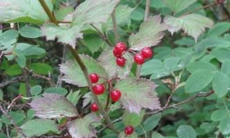 High Bush Cranberry Viburnum edule Arthur Chapman Flickr 3906262265 bb3e5176e6 w