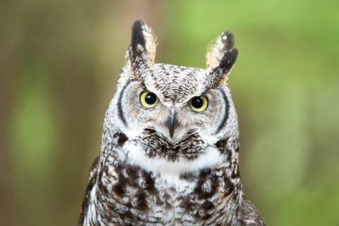 Great horned owl 2017 Great Horned Owl Narwhal Boreal Forest