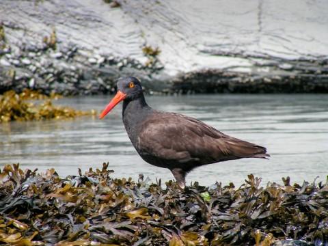 Black oystercatcher Anadyr Adventures black oystercatcher