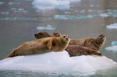 Harbor seal 2019 Harbor Seal 6