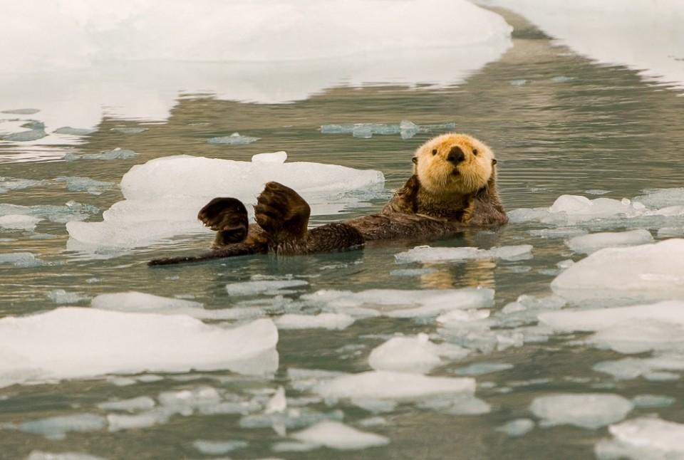 2014 Sea Otter on Ice Enhydra lutris Prince William Sound 2