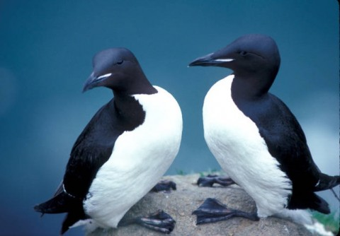 Thick billed murres marine ecosystem U S Fish and Wildlife Services Headquarters Flickr 4731067120 3c14ed6b78 z