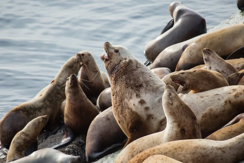 Steller sea lion marine ecosystem Cale Green Flickr 34985213606 23dc270ca2 c