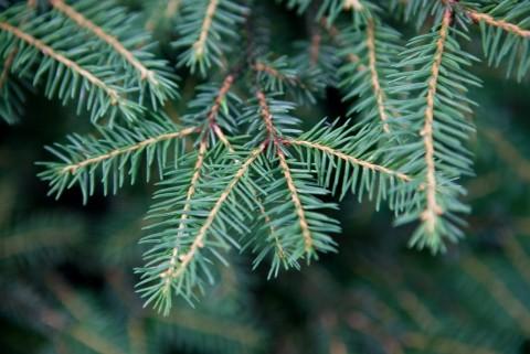 Sitja spruce Tree Species IMG 7517