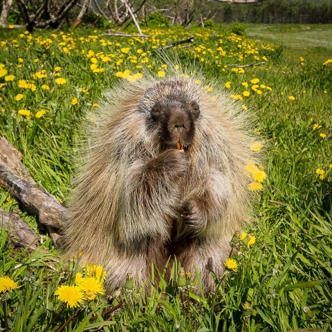 Porcupine Alaska Wildlife Conservation Center AWCC 1460