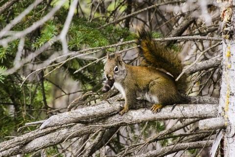 Red squirrel temperate rainforest Wrangell St Elias NP and Preserve 17091745842 d98de91cf4 c