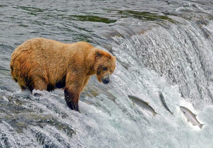 Bear fishing for salmon Brooks Falls 4 copyright Barbara Du Pont