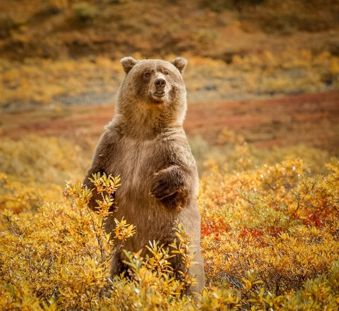Bear in Tundra Tundra Wilderness Tours i Stock 000017839911 Medium