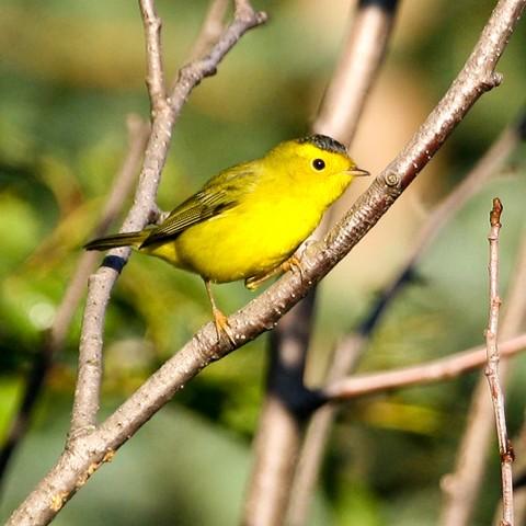 Bird Species FWS Donna Dewhurst Wilsons Warbler