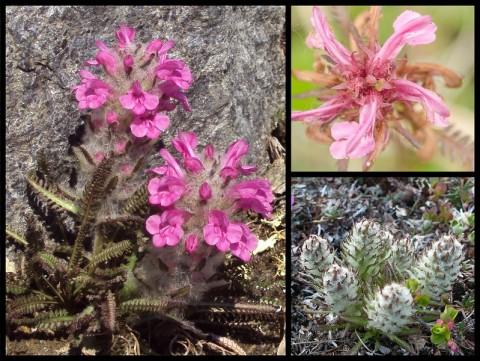 Tundra wooly lousewort Bering Land Bridge Natl Preserve Flickr 16374536332 735db21771 c