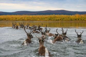 Humans caribou kobuk river jaci crace murray