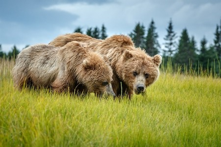 Jeff Schultz Bear Viewing Lake Clark National Park180806 1 X8905
