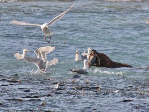 Sea Lion snatches a salmon at the Solomon Creek Hatchery