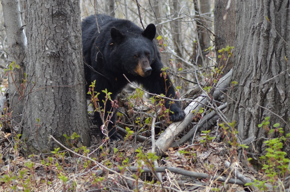 A black bear walking through the woods