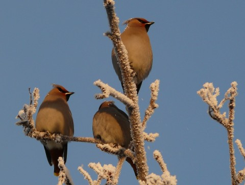 Bohemian Waxwings perched on frost covered branches