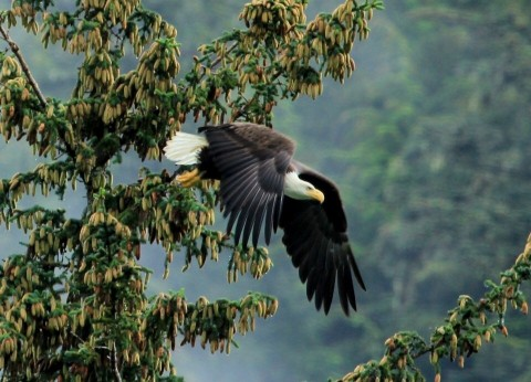 A bald eagle takes flight from a tree