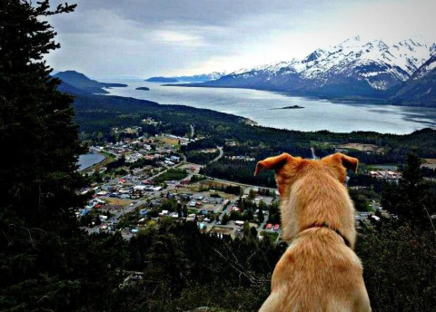 A dog overlooking Haines from the top of Mt. Ripinski