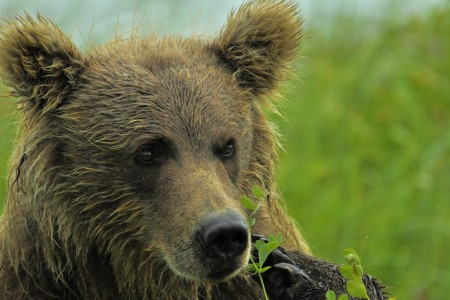 Alaska bear viewing tourschinitna bay becky lichenstein 5
