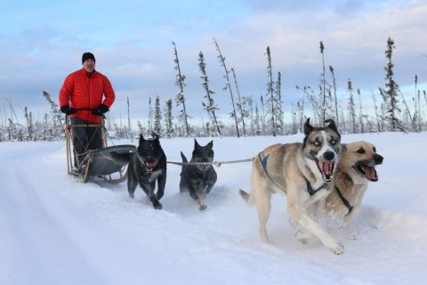 A man in a red coat is pulled along the snow on a sled by a team of sleddogs.