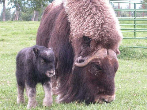 A Musx Ox and it's baby grazing