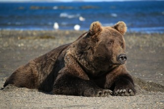 Homer bear viewing scenic bear viewing