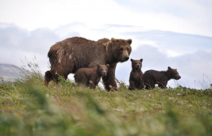 Katmai bear viewing lodges Katmai Nationl Park Bears 2 Jill Rife