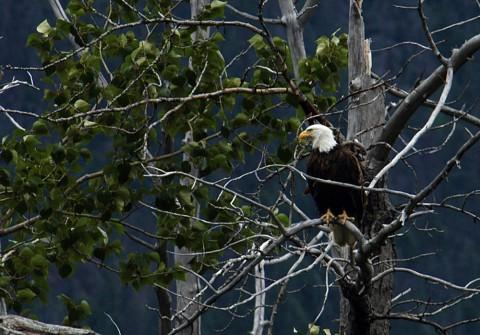 Alaska species birds Bald Eagle In Tree