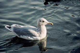 Alaska species birds glaucous winged gull