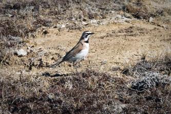 Alaska species birds FWS Tim Bowman hornedlark