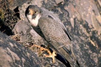 Alaska species birds Peregrine Falcon