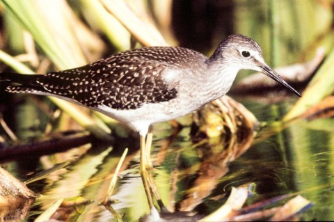 Alaska species birds lesser yellowlegs