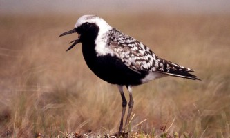 Alaska species birds black bellied plover