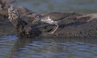 Alaska species birds FWS Gary Kramer spottedsandpiper