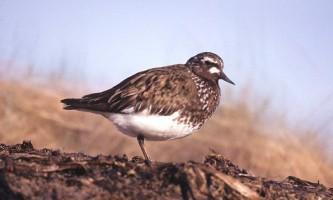Alaska species birds black turnstone