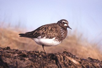 Alaska species birds black turnstone