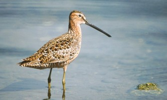 Alaska species birds long billed dowitcher