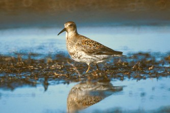 Alaska species birds FWS Tim Bowman rocksandpiper