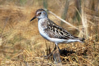 Alaska species birds semipalmated sandpiper