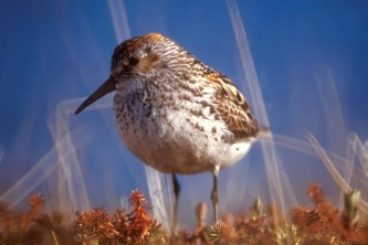 Alaska species birds western sandpiper