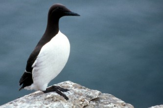 Alaska species birds common murre