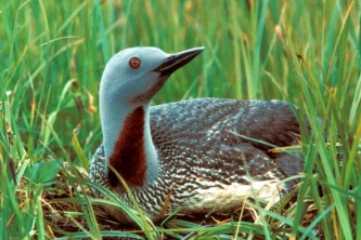 Alaska species birds red throated loon
