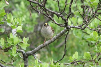 Alaska species birds Golden Crowned Sparrow