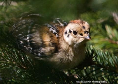 Alaska species birds Spruce Grouse Chick