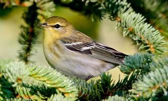 Alaska species birds FWS Donna Dewhurst blackpollwarbler